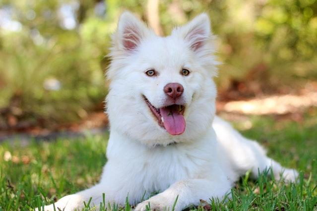 5 redenen waarom honden hijgen