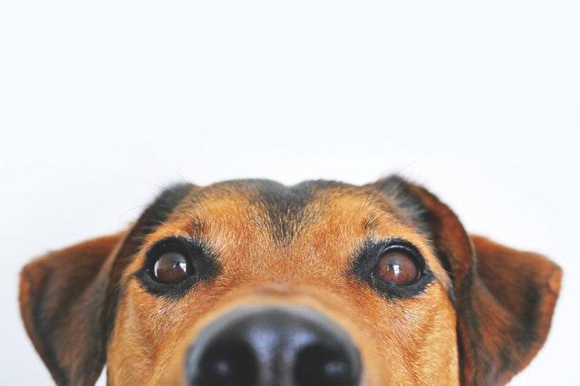hond heeft een droge neus