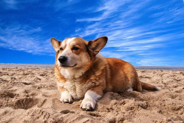 wanneer is he hond te dik