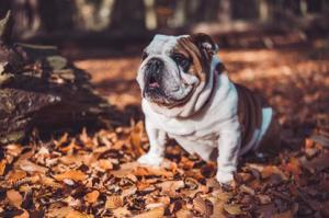 franse bulldog opvoeding