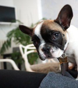hoe verzorg je een franse bulldog