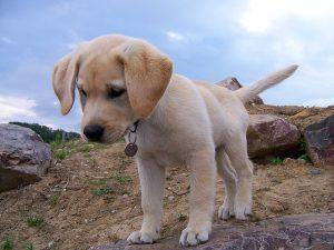 wat kost een labrador